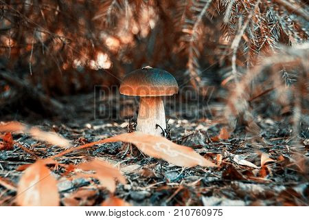 Autumn mushroom under the tree. Beautiful red autumn. Boletus edulis a porcini in the forest under the tree