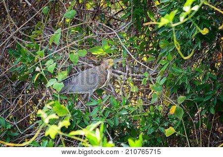 Tigrisoma Lineatum Bird, Also Known As Soco-boi In Brazil