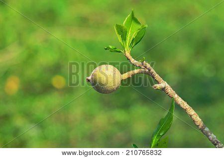 Genipa Americana Fruit On The Jenipapeiro Tree