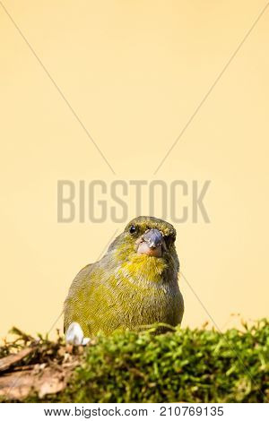 One Male Greenfinch Bird Behind Branch Covered By Moss With Dirty Beak