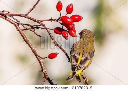 Young Green-finch Bird Perched On Twigs Of Rose Hip
