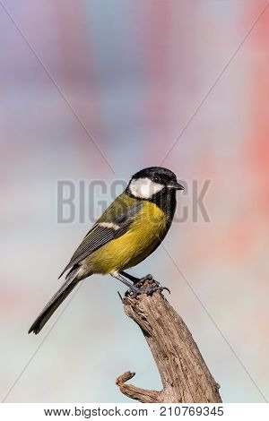 Young Male Blue-tit Avian Sitting On Piece Of Dry Wood