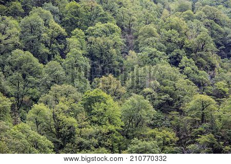 Deciduous green trees in forest on mountainside. Concept of an ecosystem and healthy environment. Neighborhood of Lake Riza. Texture of deciduous trees forest for background