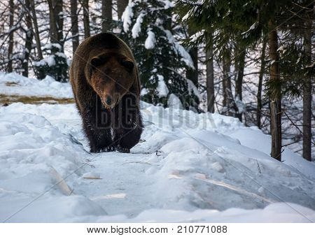 Brown Bear Walking In The Winter Forest