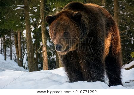 Old Brown Bear Stand In The Winter Forest