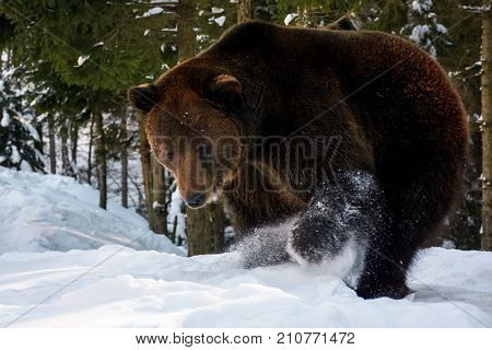 Brown Bear Searching Something In The Snow