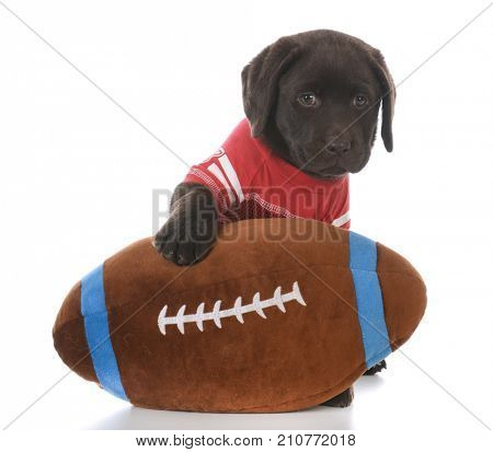labrador retriever puppy with a stuffed football