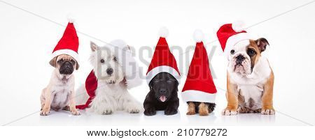 five little dogs wearing santa claus hats sitting on white background