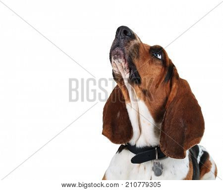 closeup picture of a basset hound's head looking up on white background