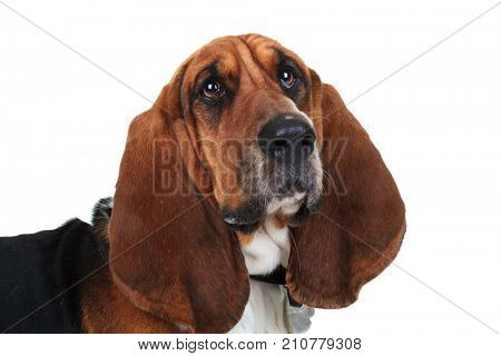 closeup picture of a cute basset hound on white background
