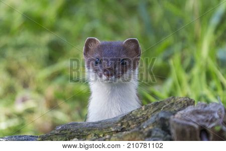 Curious European weasel looks out from behind a rock