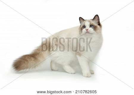 Cute cat rag doll with fluffy tail posing on white background. A cat with blue eyes.