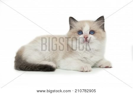 A rag doll kitten lies on a white background. Cat with blue eyes.