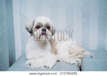 Shih tzu dog lying at home sofa and waiting for owner