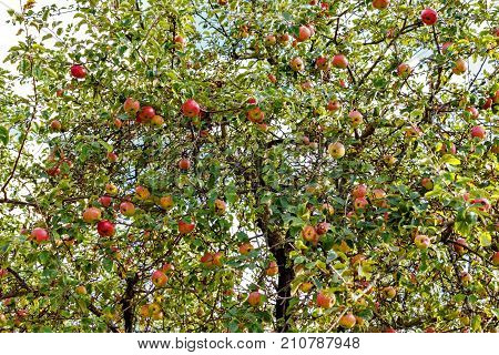 Trees with red apples in an orchard. Red apples on apple tree branch.