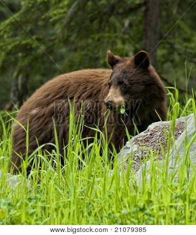 Black Bear Eatting Grass Ans Clover