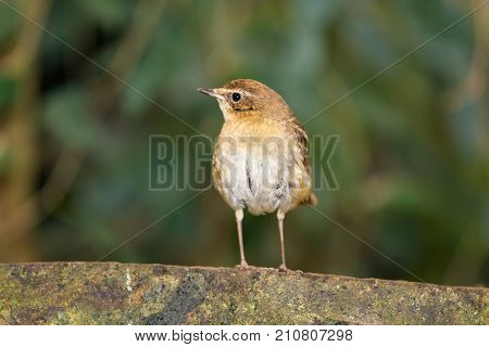 Eurasian wren also knownas Troglodytes troglodytes. It is one of the smallest birds in Eurasia.