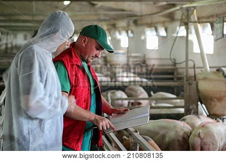 Veterinarian Doctor and Farmer in Pig Barn. Intensive pig farming. Pig farm worker.