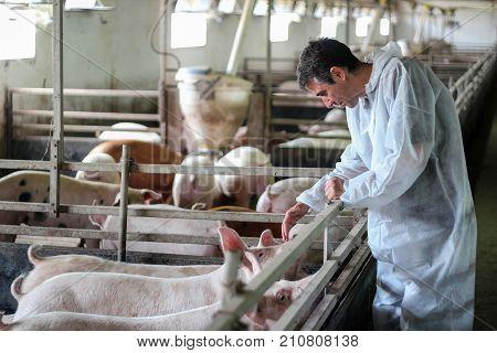 Veterinarian Doctor Examining Pigs at a Pig Farm.