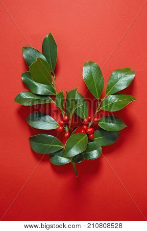 Christmas Holly (Ilex aquifolium) leaves and fruit on red background.