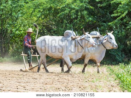 BAGAN MYANMAR - SEP 06: Burmese farmer plowing with oxen in village near Bagan Myanmar on September 06 2017 agriculture is the main industry in Myanmar