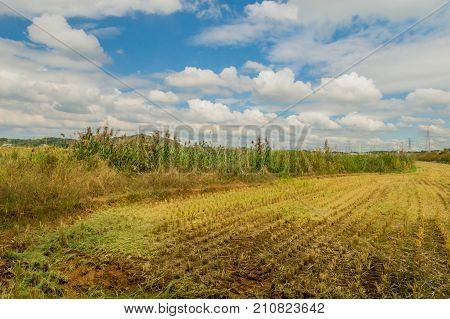 Field of rice that has been harvested leaving behind only stubs of the stalks next to tall reeds and grass under a blue sky filled with beautiful white puffy clouds