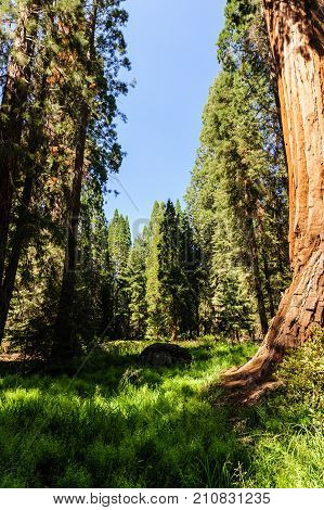 Giant Sequoias in a grass field in the General Grant Grove, Kings Canyon National Park
