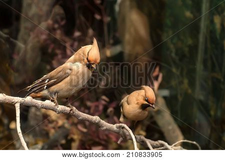 Close up two stuffed waxwing birds on display in museum exhibition sitting on tree branches. Bird taxidermy