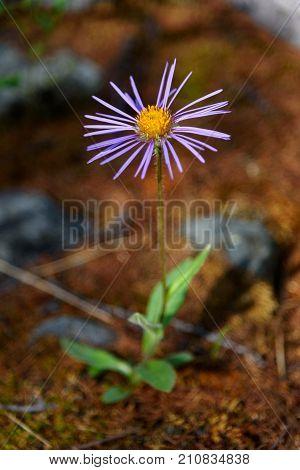 Aster Alpinus Flower In Aktru Valley. Altai Republic. Russia