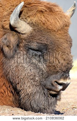 Wisent (Bison bonasus) also know as European bison or the European wood bison. Head close up.