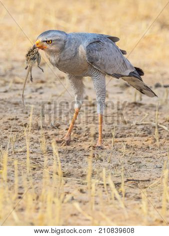 A Pale Chanting Goshawk with prey in the Kgalagadi Transfrontier Park straddling South Africa and Botswana.