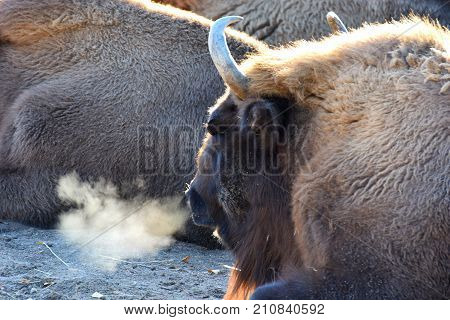 Wisent, also know as European bison (Bison bonasus) with steamy breath on a cold morning.
