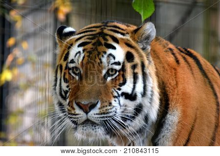 Amur tiger (Panthera tigris altaica), also known as Siberian tiger.