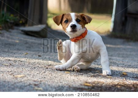 Scratching jack russel puppy on road .