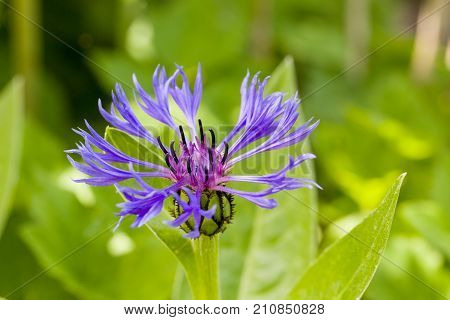 Close up of purple blossom of centaurea montana mountain cornflower with natural green background. Selective focus. Shallow depth of field.