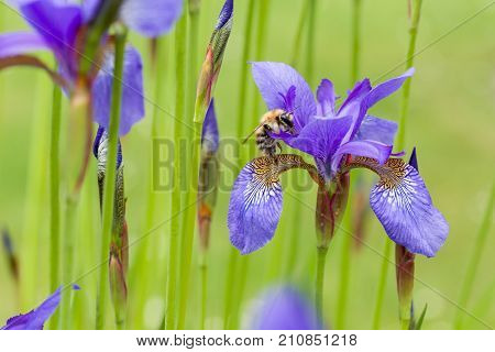 Closeup of apis honey bee visiting blooming purple iris sibirica sibirian iris in spring in front of natural green background.  Selective focus. Shallow depth of field.