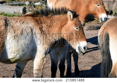 Mongolian wild horses. Also known as Przewalski's or Dzungarian horse.