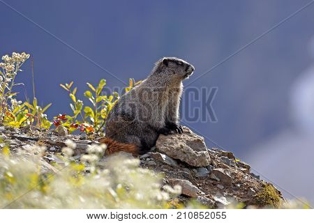 Hoary Marmot sitting by a rock in the alpine enjoying the warm sunny day.