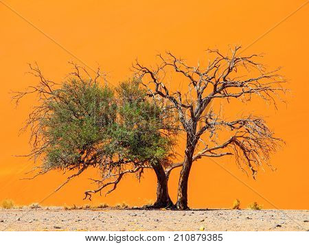 Two camelthorn tree against an orange dune background. First green and alive and second dry and dead. Sossusvlei, Namib-Naukluft National Park, Namibia, Africa.