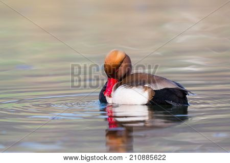 Male Red Crested Pochard (netta Rufina) Grooming In Sunlight