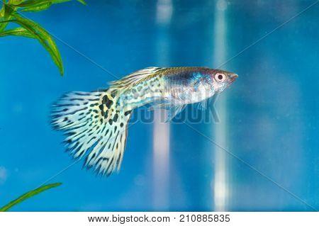 Guppy (poecilia Reticulata) In A Aquarium