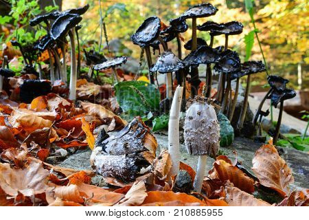 Group of old dissolving Shaggy ink cap mushrooms in background and pair of them in foreground turning black and secreting a black liquid filled with spores