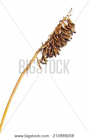Brown dried seed pods of a cultivated hosta plant in fall isolated against a white background