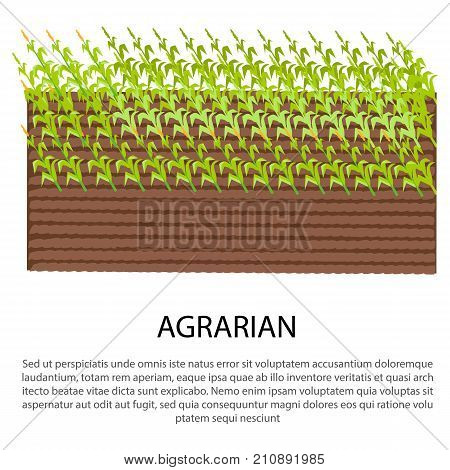 Agrarian poster with growing corn plants on spot of land vector illustration for web design. Poster in farming concept, add your text
