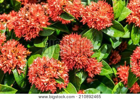 Spike flower Rubiaceae flower Ixora coccinea. Close up group of red flower spike and green leaves