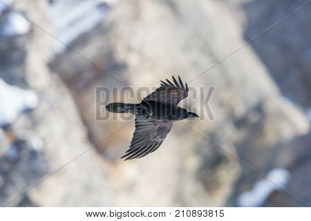 Portrait Of Northern Raven (corvus Corax) In Flight With Rocky Background