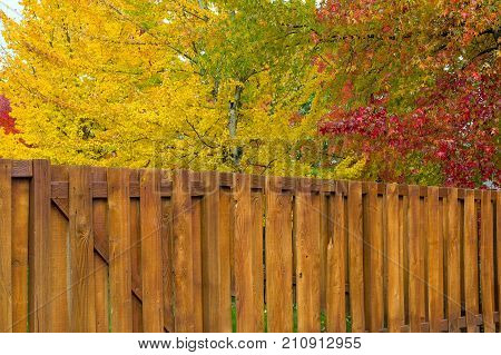 Maple Sweetgum Trees in bright vibrant peak fall colors by garden backyard wood fence