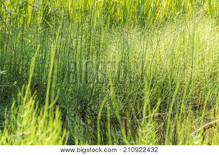 sunny illuminated wetland horsetail vegetation detail in Southern Germany at early summer time