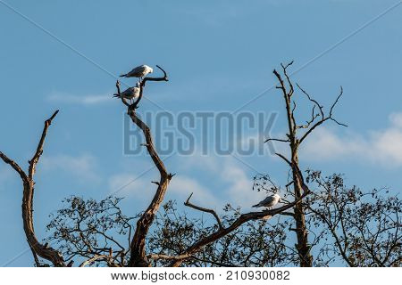 Common Terns In A Tree At Bradgate Park.
