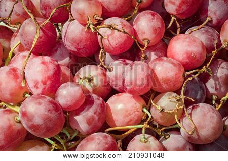 Rose grapes background. Macro of fresh red grapes with water drops. Red grapes as very nice fruit background. Image of red grape background with water drops.